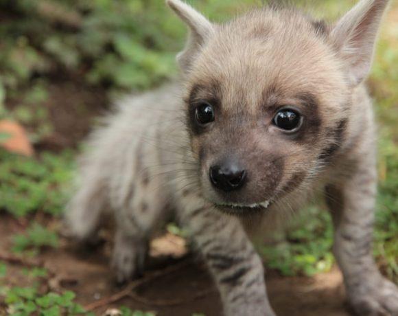Bayi Hyena Lahir Pertama Kali di Bali Safari, Diberi Nama Mooi oleh Jessica Iskandar