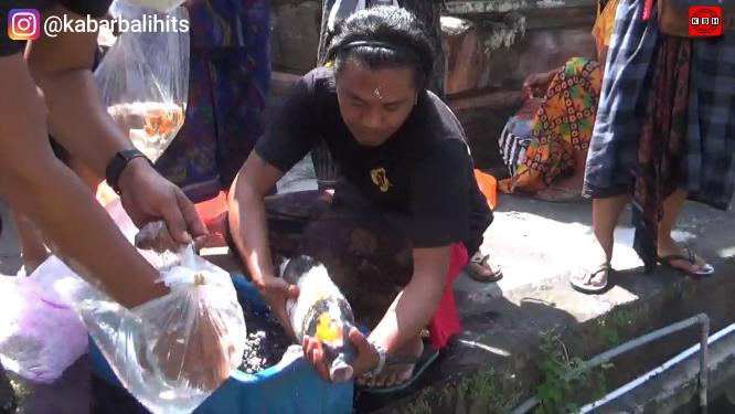 Komunitas Ini 'Mepunia' Ikan Koi, Hanya Fokus Di Pura-Pura